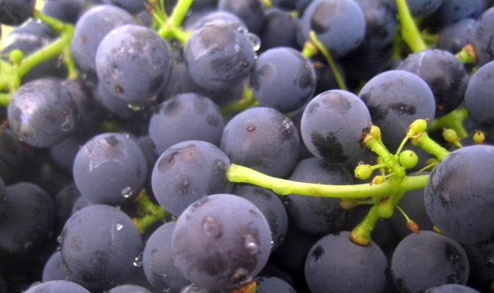 Suco de uva integral faz bem ao coração